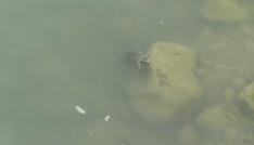 Kaplumbağalar ilçe deprem paniğine yol açtı