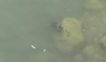Kaplumbağalar ilçede deprem paniğine yol açtı