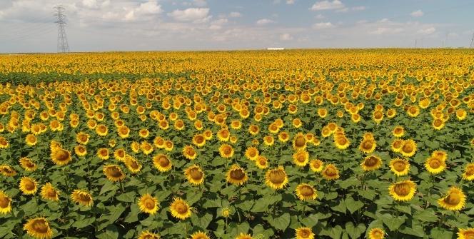 Milyonlarca ayçiçeğinin havadan görüntüsü mest etti