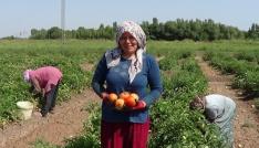 Iğdırda süper domates hasadı başladı