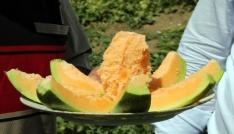 Muz tadındaki Bağrıbütün kavunun hasadı başladı