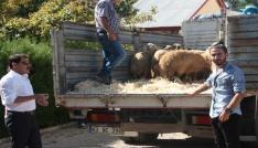 Tuncelide genç çiftçilere bin 20 koyun dağıtıldı