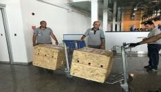 Tedavileri tamamlanan yavru ayılar uçakla Bursaya gönderildi