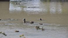 Yaban ördekleri Karsı mesken tuttu