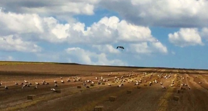 (Özel) Leylekler buğday tarlalarına akın etti