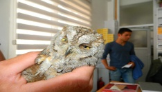 Yaralı Baykuşu veterinerde tedavi ettirdi