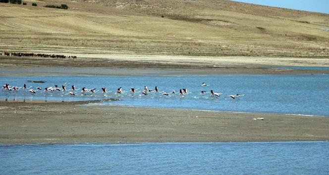 Flamingolar beslenmek için Yozgattaki Gelingüllü Barajına geldi