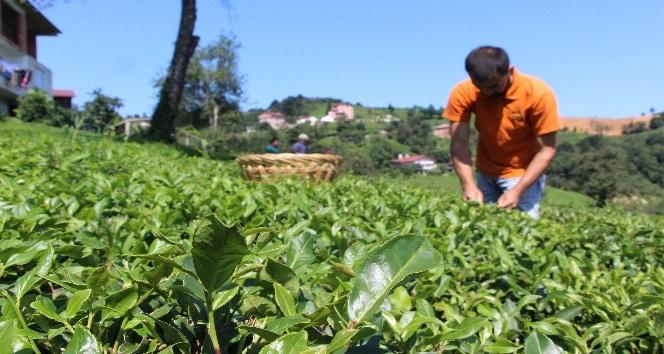 Çay bahçesine girerek tek tek elle topluyorlar