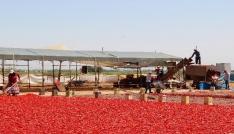 Şanlıurfada isotun üretim serüveni başladı