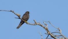 (Özel Haber) Karacabey Longozunda 270.tür böyle kaydedildi