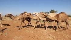 Şanlıurfada yetiştirilen kurbanlık develer alıcılarını bekliyor