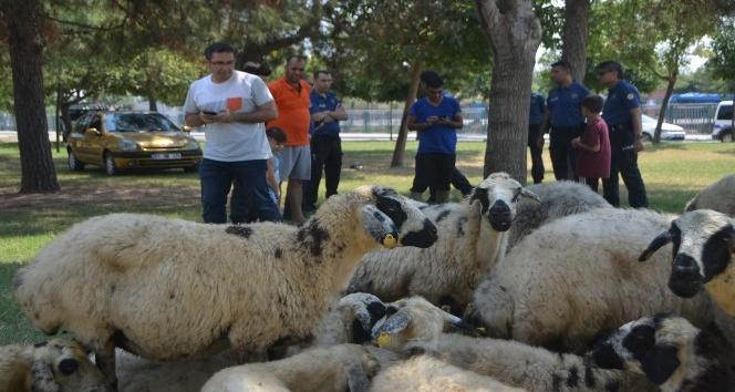 Kaçan kurbanlık koyunlar