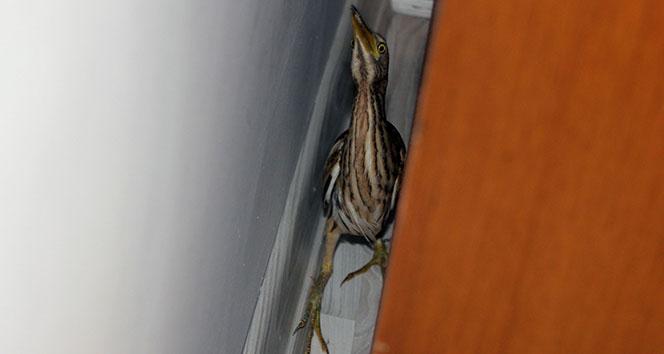 Nesli tükenmekte Hint balıkçıl kuşu, Başakşehir'de bir eve girdi