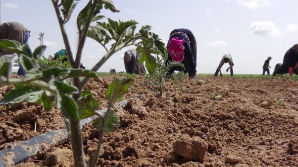 Savaştan kaçan Suriyeliler tarlada