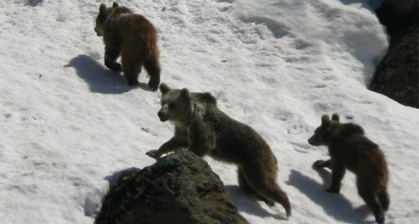 Aç kalan yaban ayıları yiyecek yerken fotoğraflandı