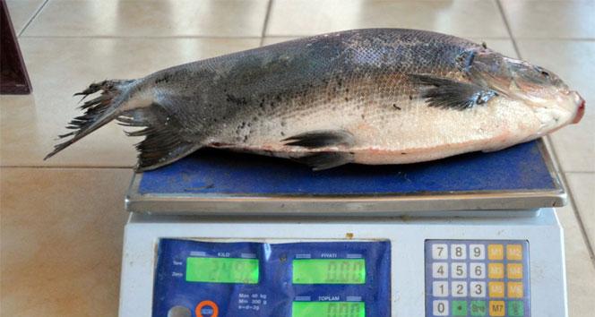 İznik Gölü'nde balıkçı ağına pirana takıldı