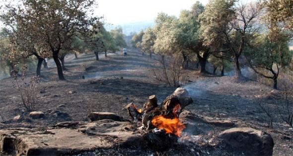 Binlerce zeytin ağacı yandı
