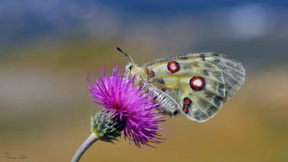 150 milyon yıllık Apollo kelebeği nesli tükeniyor