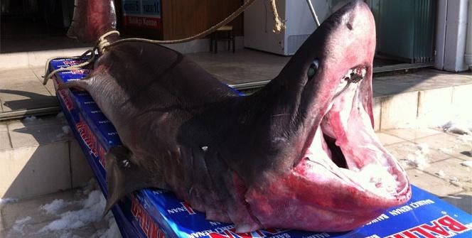 Beylikdüzü açıklarında 1 tonluk köpek balığı yakalandı