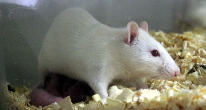 Deney hayvanları burada yetiştirilip araştırılıyorDeney hayvanları,eskişehir,Yrd. Doç. Dr. Oya Eralp İnan