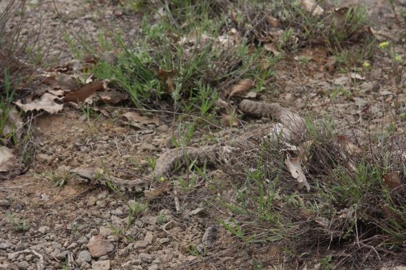 Bingöl'de yılanlar köylüleri tedirgin ediyor