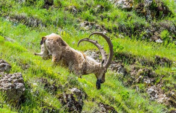 İHA muhabiri dağ keçilerini fotoğrafladı