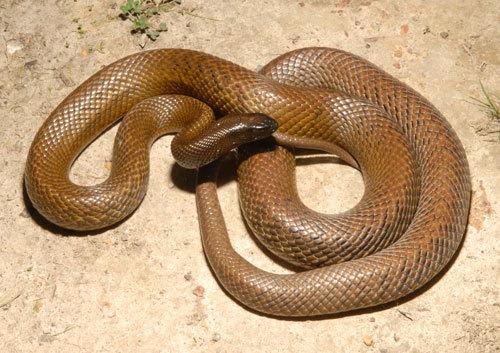 zehirli kara yılanı ile ilgili görsel sonucu
